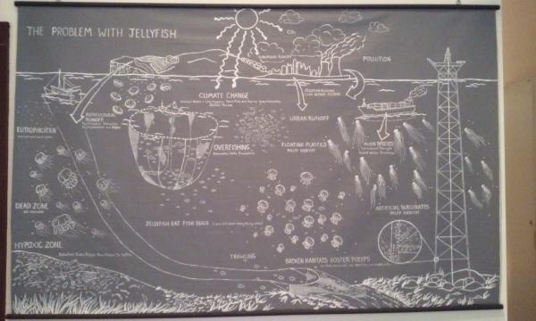 A chalkboard infographic shows how human pollution causes jellyfish infestations. Cleo Falvey / Sagamore Staff