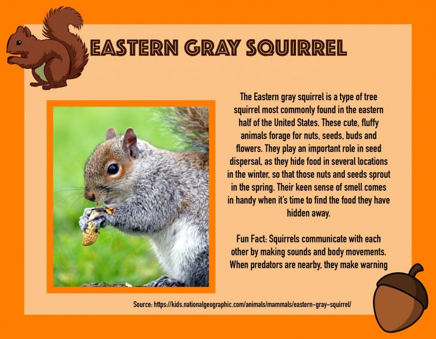 Squirrel Awareness Month: Eastern Gray Squirrel