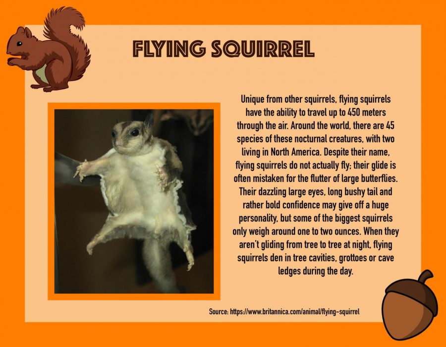 Squirrel Awareness Month: Flying Squirrel
