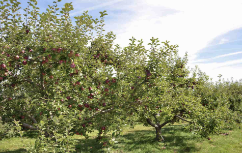 As the New England fall weather settles in, we found the best places to go apple picking!